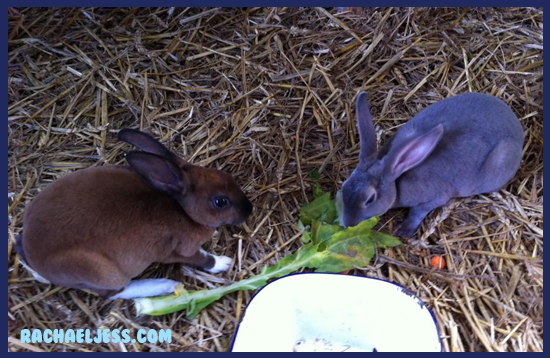 Option to hold the rabbits at Middle Farm
