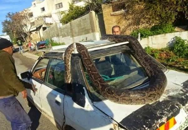 فلسطيني يفاجأ بأفعى عملاقة تلتف حول سيارة مرسيدس