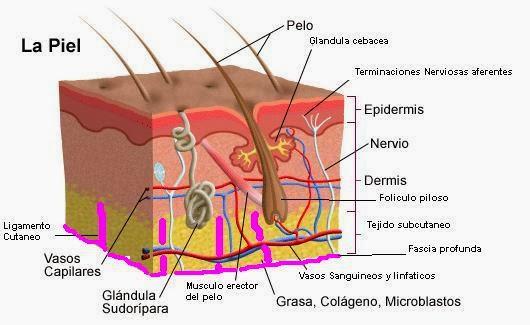 Anatomía de la piel y los fanéreos