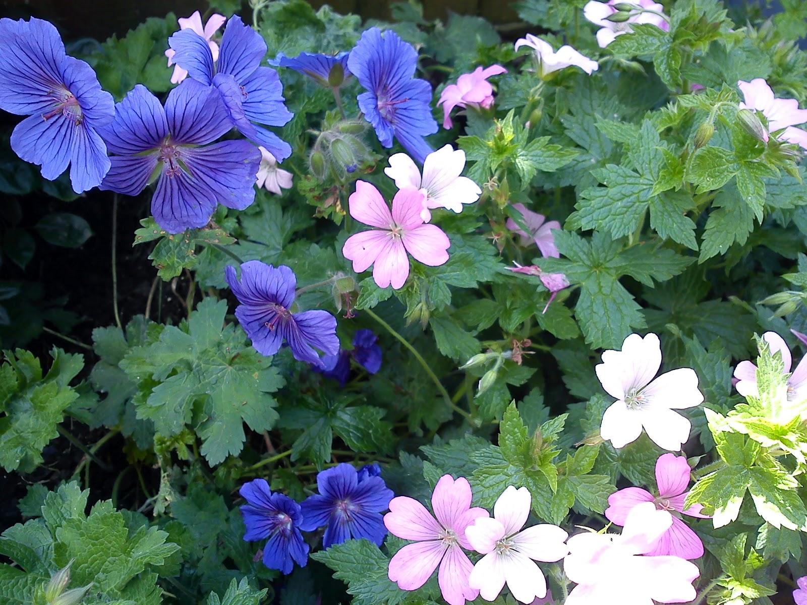 simple geraniums gardener 39 s word. Black Bedroom Furniture Sets. Home Design Ideas