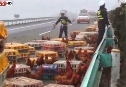 الشرطة الصينية تطارد آلاف دجاجة طريق السريع