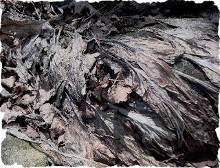 crinkled dried dead hosta