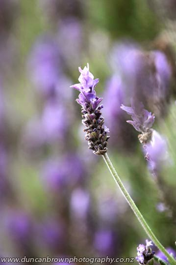 Lavender, you can't walk past without breaking a bit off photograph