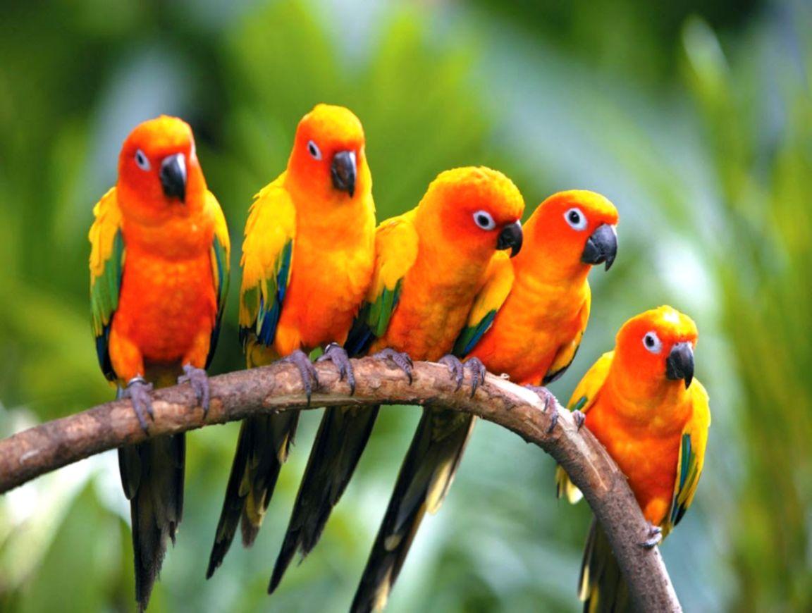 birds of paradise beautiful hd wallpaper desktop | wallpaper