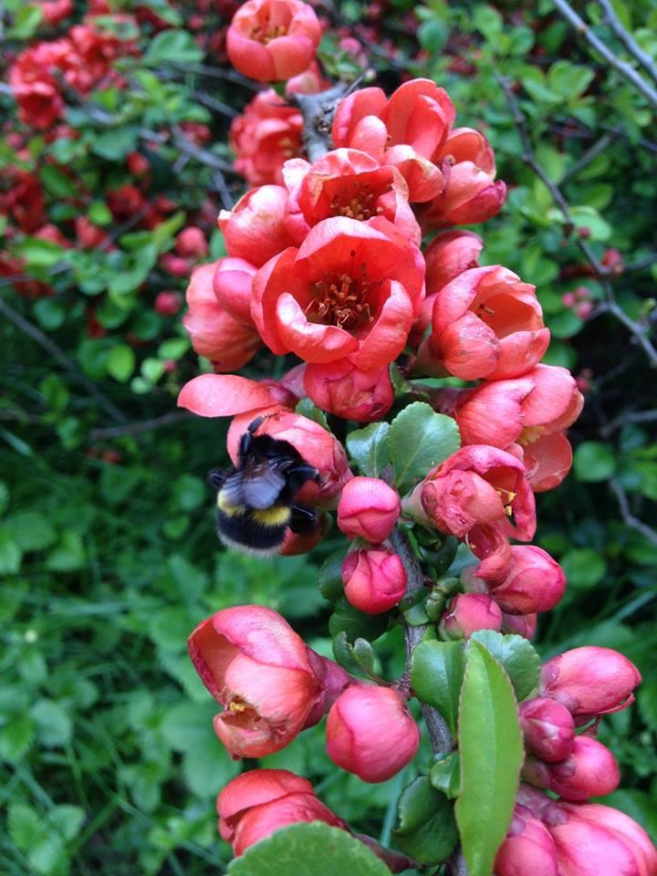 Viktiga pollinerare