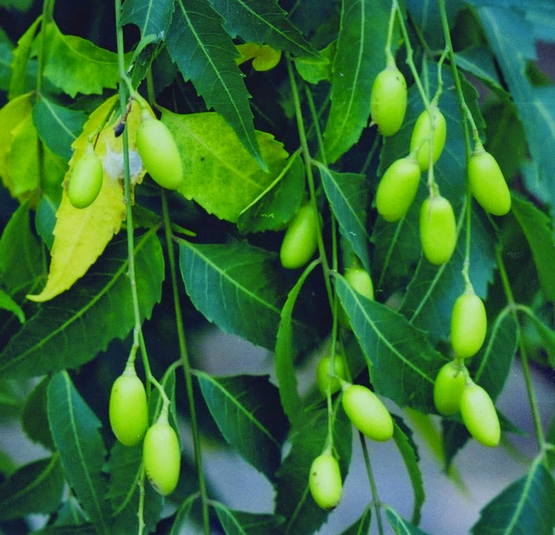 Neem (Azadirachta indica syn. Melia azadirachta, M. indica) Overview, Health Benefits, Side effects