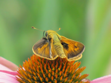 Firey Skipper Butterfly on Purple Coneflower