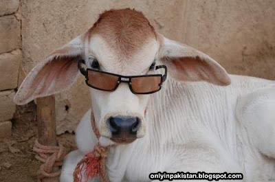 Funny Pakistani cow