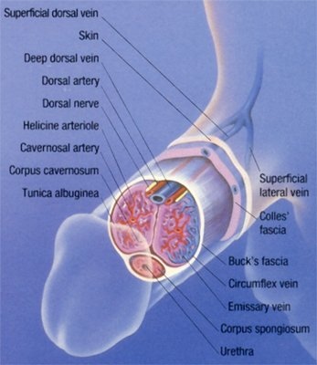 Viagra Peyronies Side Effects