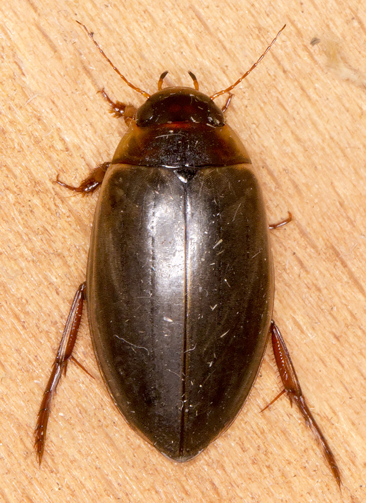 Water beetle, Ilybius ater .  In my garden light trap in Hayes on 15 July 2014.