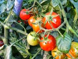Analisa Peluang Usaha  Budidaya Tomat Lengkap Tahun 2014