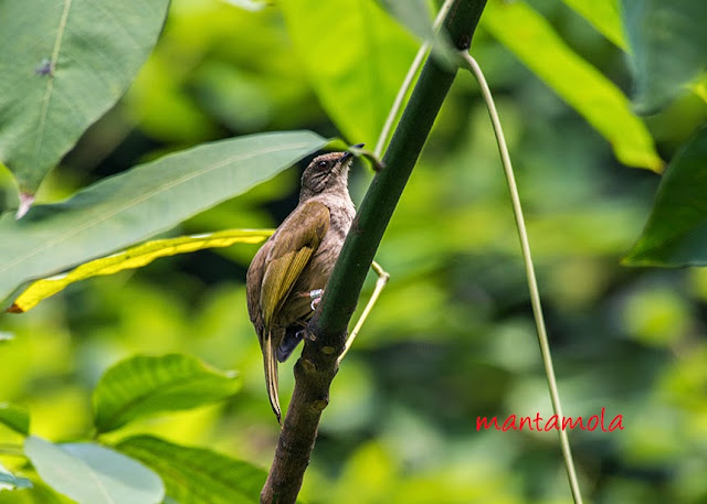Olive Wing Bubul