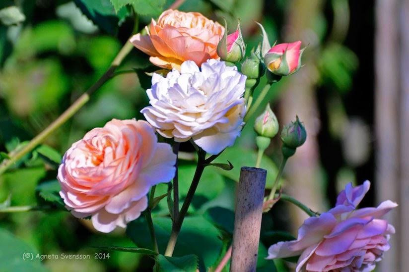 när blommar rosor