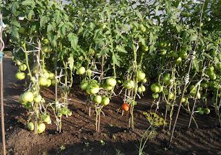 грядка помидоров