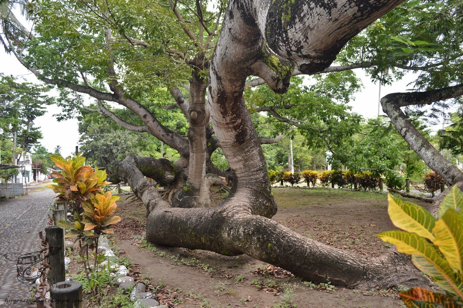 Uno de los tantos arboles que se pueden ver en La Antigua, Veracruz