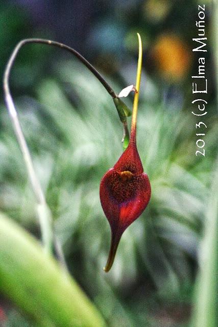Masdevallia ayabacana. Orquideas del Perú