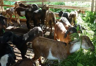 panduan cara budidaya ternak kambing domba susu pedaging natural nusantara poc nasa hormonik viterna distributor nasa