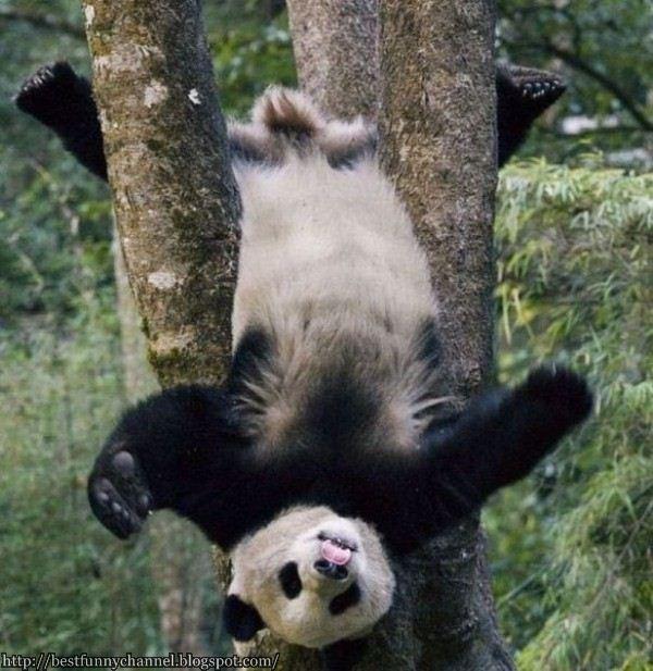 Funny panda in the tree.