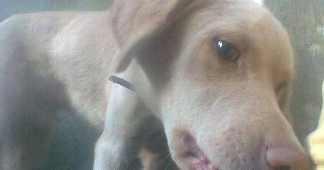 Para cachorros de medicina helminths