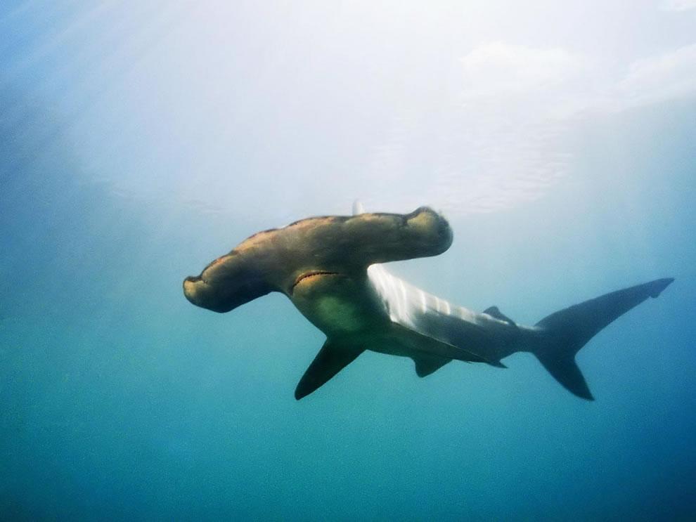 اسماك القرش تحت الماء 4.jpg
