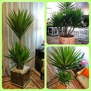 Plantas para dentro de casa - Iuca