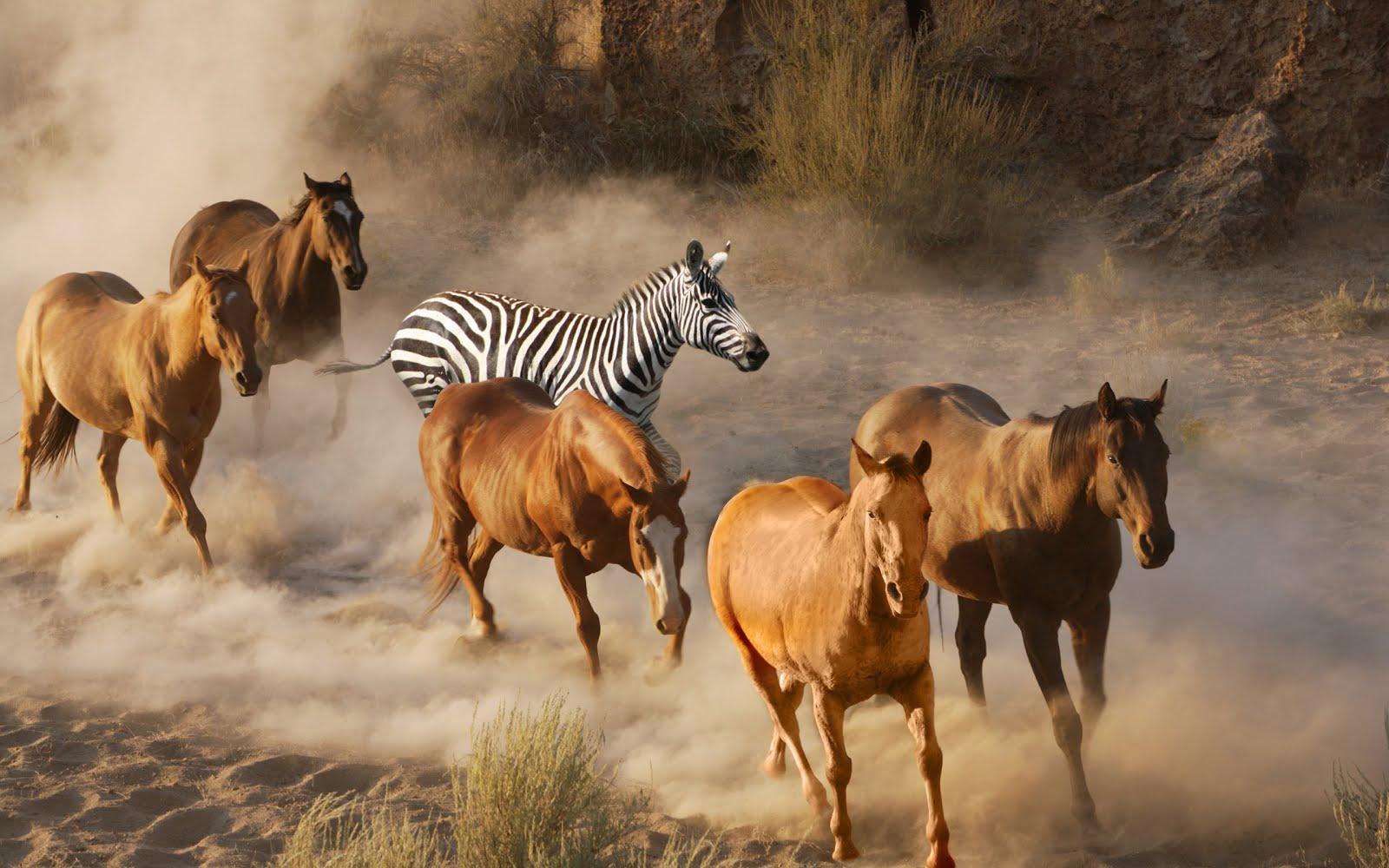 Als men hoefgetrappel hoort moet het niet altijd een paard zijn, het kan even goed een ZEBRA zijn!