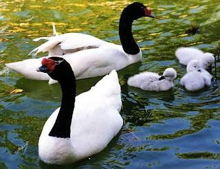 Cisnes grandes y pequeños disfrutando del agua