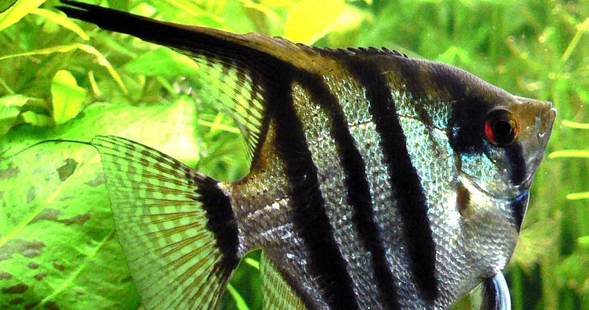 Vet metodo de reproduccion de algunos peces ornamentales for Cria de peces ornamentales