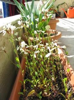 άνθη ρόκας στο μπαλκόνι garden for zoey