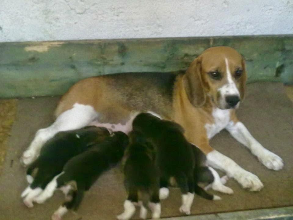 satılık yavru beagle ilanı