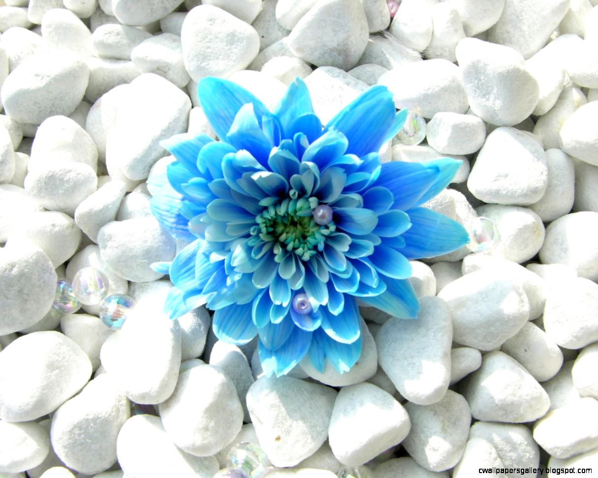 Blue Flower Wallpaper  Flowers Wallpapers