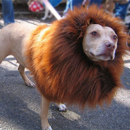 http://www.google.co.uk/imgres?imgurl=http%3A%2F%2Fodditymall.com%2Fincludes%2Fcontent%2Flion-mane-dog-costume-1.jpg&imgrefurl=http%3A%2F%2Fodditymall.com%2Flion-mane-dog-costume&h=394&w=540&tbnid=9EjifvDS2tI9NM%3A&zoom=1&docid=J5-HLNSD6GWdVM&ei=Aj5SVI6bC8vQ7AatkIGgBQ&tbm=isch&ved=0CCQQMygGMAY&iact=rc&uact=3&dur=709&page=1&start=0&ndsp=47