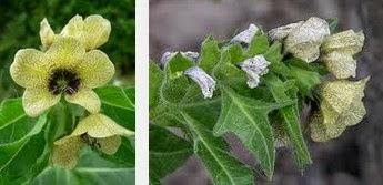 henbane dangerous herbs