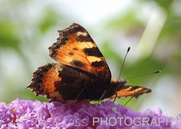 Tortoise Shell butterfly