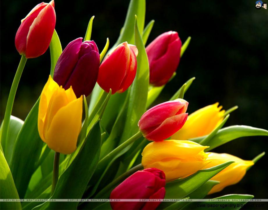 tulips –