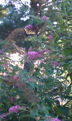 IMAG0339 746263 Todays Gift 7/14/11: The Butterfly Bush