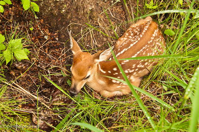 https://www.etsy.com/listing/168976366/new-born-tiny-fawn-natures-beauty?ref=shop_home_active_6
