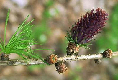 trees of the world alerce europeo Larix decidua