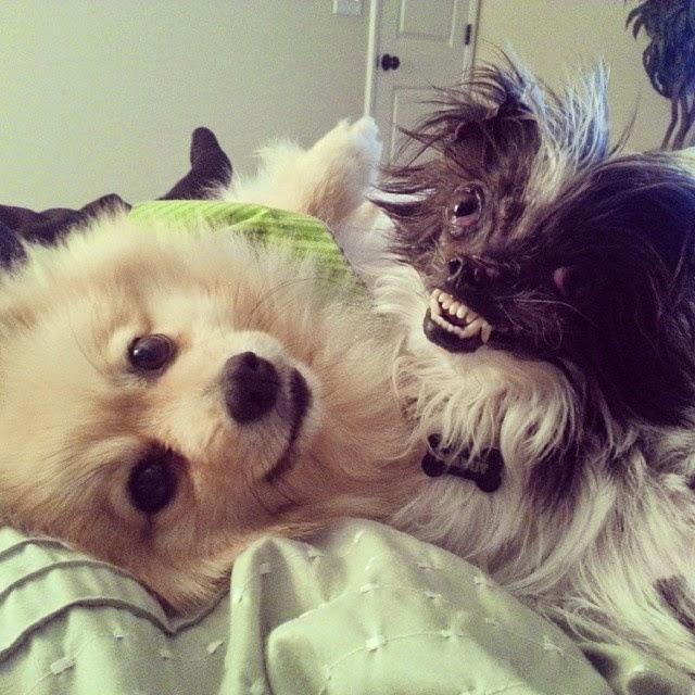 Peanut The 'World's Ugliest Dog' 2014