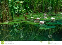 Visualization Meditation : A Pond with Water Lilies at the Deva Chakra