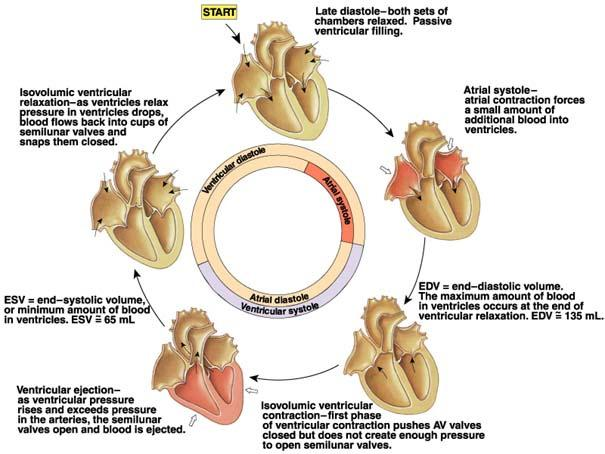 Know Ur Heart Cardiac Cycle