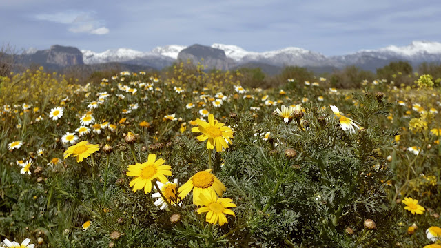 Flores de primavera con la sierra de la Tamontana de fondo