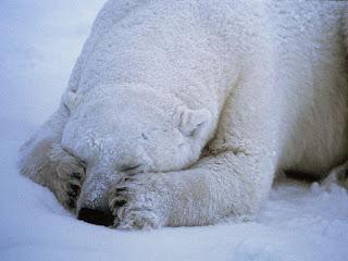 Foto Beruang Kutub Tidur