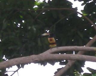 Collared Aracari, Pteroglossus torquatus, La Ceiba, Honduras