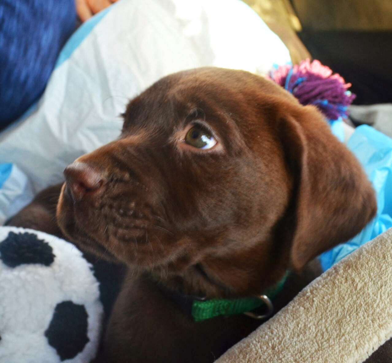 Cute dogs - part 7 (50 pics), adorable brown lab puppy