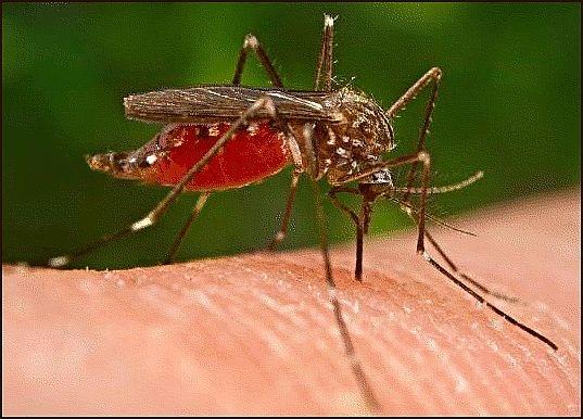 Mosquito Species In Rhode Island