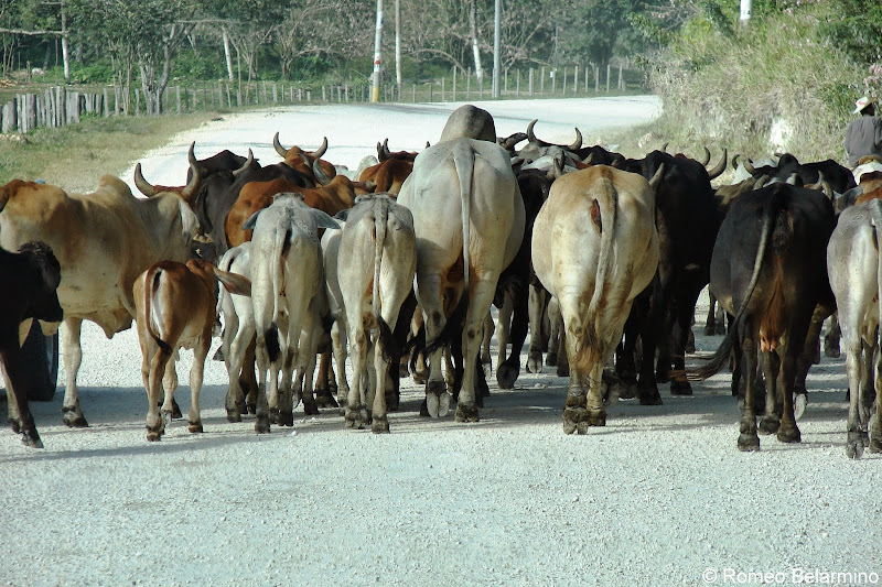 Cow Traffic Jam on the Way to Tikal Guatemala
