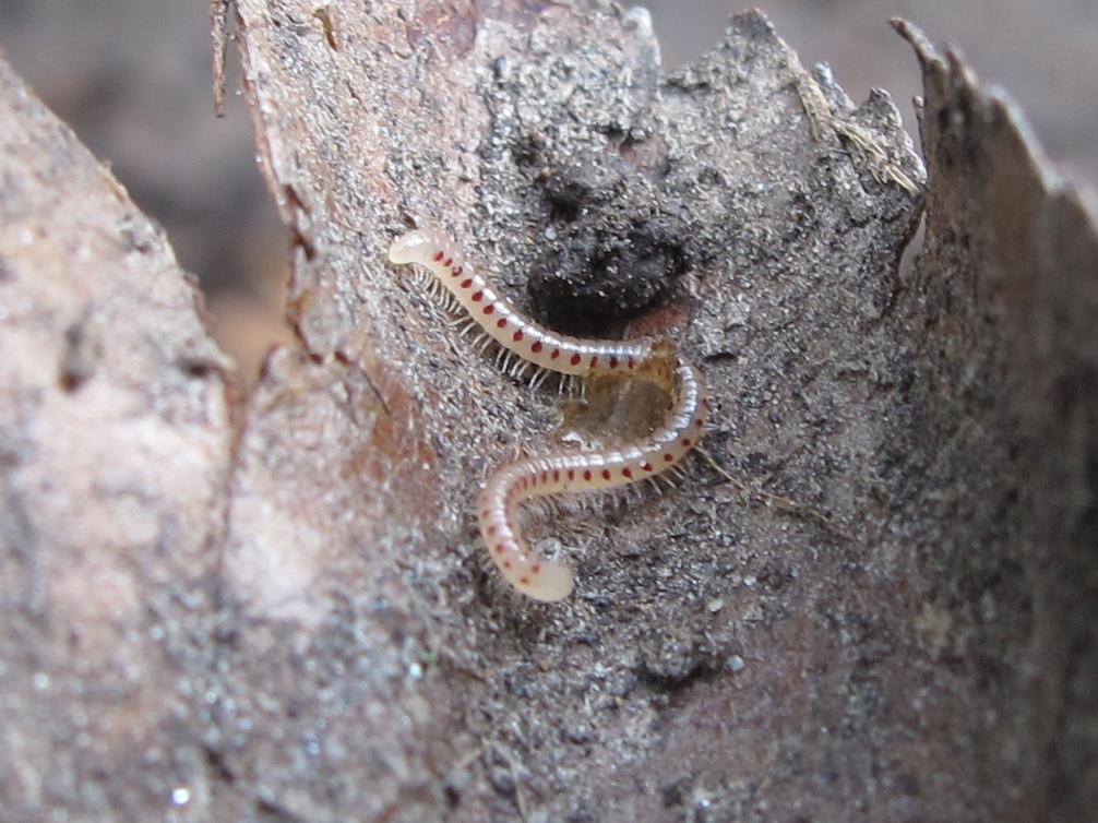 Bugblog Red Ant Nest