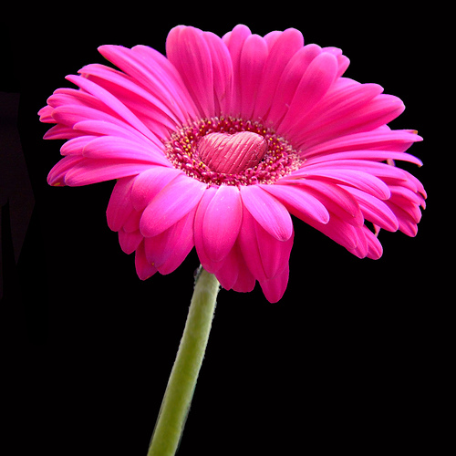 pink gerbera flowers wallpapers - photo #10