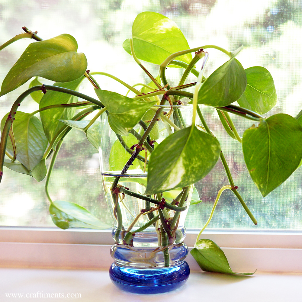 Pothos cuttings rooting in water